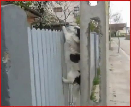 dog using chimney technique to get over fence,sweet