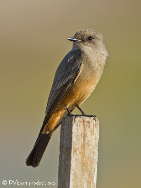 Say's Phoebe diggin his post perch