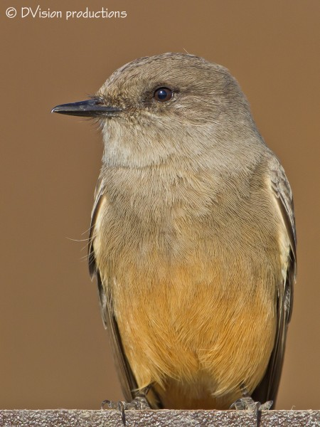 Same Say's Phoebe on his alternate sign edge perch