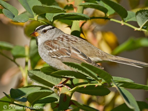 White-Crowned Sparrow hanging in Morongo Preserve