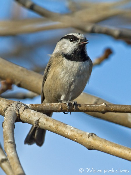 Mountain Chickadee enjoying the late afternoon sun