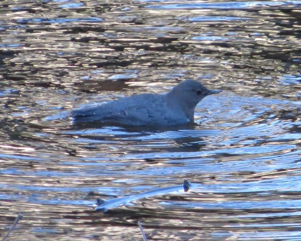 American Dipper in Merced, Yosemite N.P. <br/>
