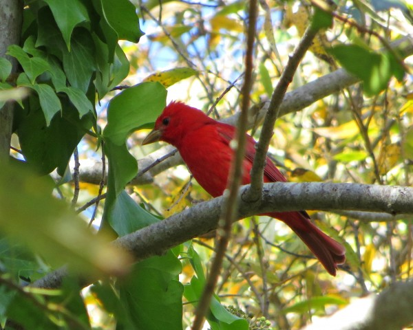 Summer Tanager in Winter - DRESSED UP FOR CHRISTMAS! <br/>