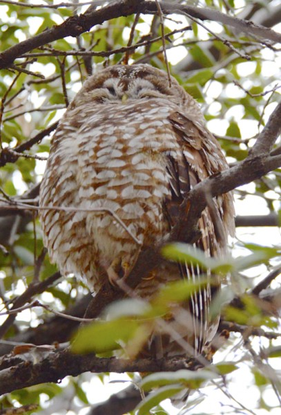 Spotted Owl in Huachuca Mountains