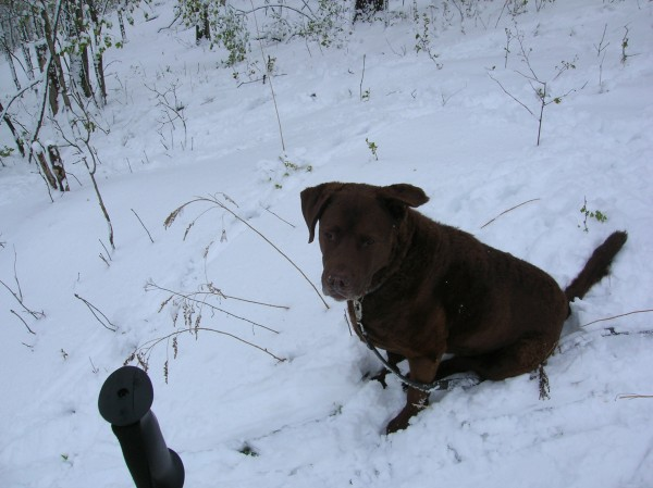 Seamus, my 11 yr old chesapeake bay retriever,rescued from a menonite ...