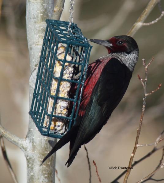 Lewis's Woodpecker.