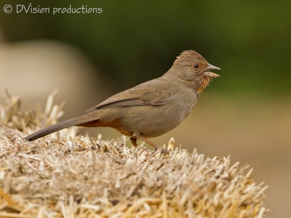 California Towhee singing on a hay bale in So Cal