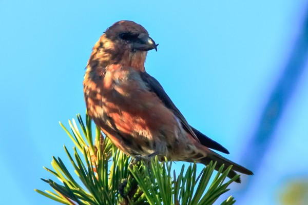 Red Crossbill <br/>