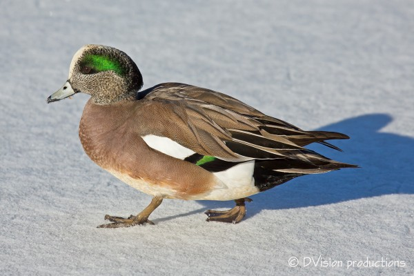 Mr. Widgeon