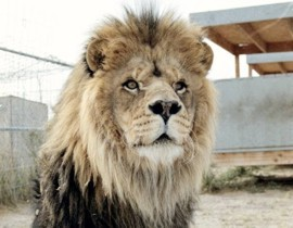 Rocky - Barbary Lion