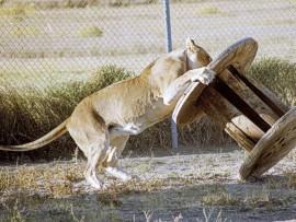 Nala, smart cat - a Barbary Lioness
