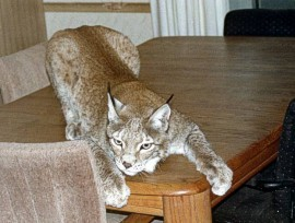 Peggy Sue cuddle cat, a European Lynx