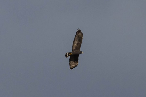 Zone-tail Hawk <br/>
