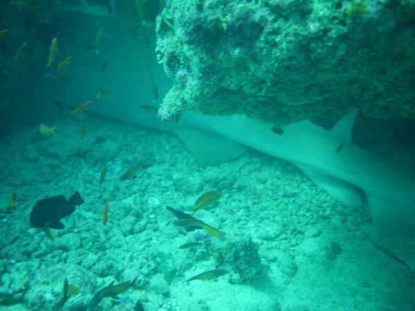 Mama Shark