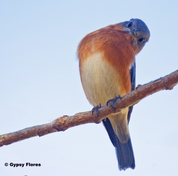 Here is a photo of a male eastern bluebird that I took in my garden in...