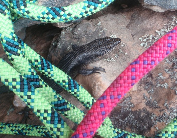 Inquisitive lizard at the belay