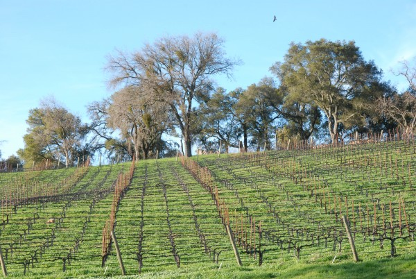 Pretty vineyards of Paso Robles