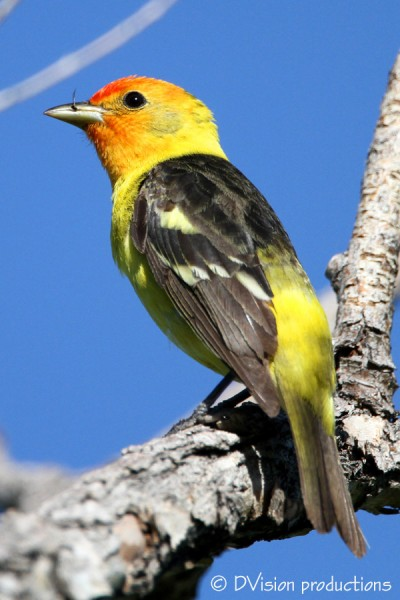 Male Western Tanager enjoys a tasty(?) bug
