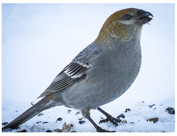 Pine Grosbeak, female <br/>
