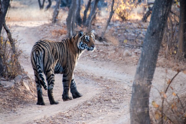 Ranthambore, NP, India