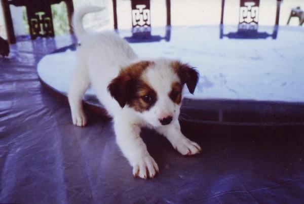 Kuma as a puppy