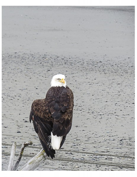 Anchor Point, Bald Eagle with an injured wing