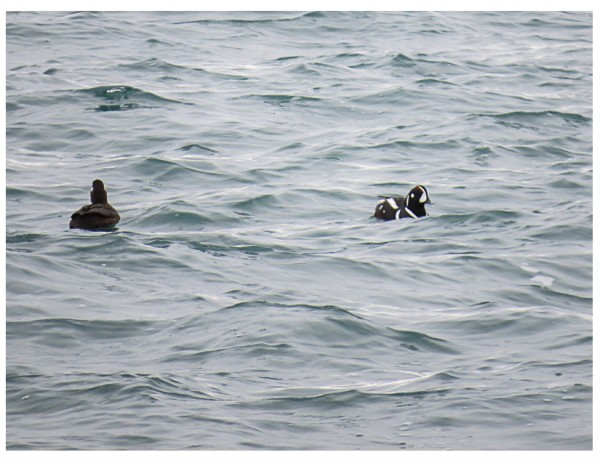 Homer, Harlequin Duck male and female