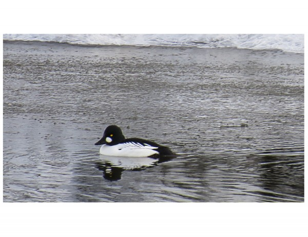 Ninilchik, Common Goldeneye