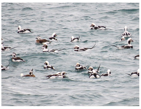 Homer, Long-tailed Ducks