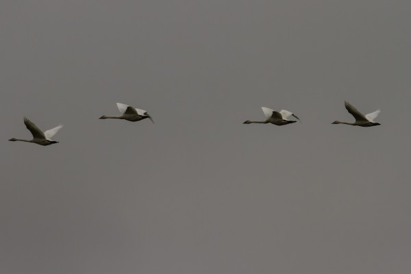 Trumpeter Swans <br/>