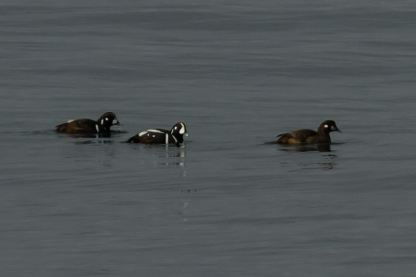 Harlequin Ducks <br/>