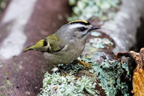 Golden-crowned Kinglet <br/>