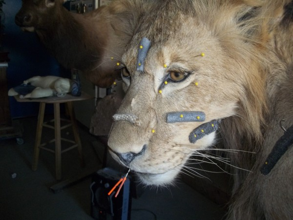 a good looking lion face, after re-sculpting the zigamatics, maciters ...