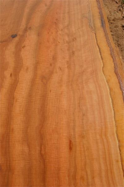Sugar Gum Eucalyptus detail