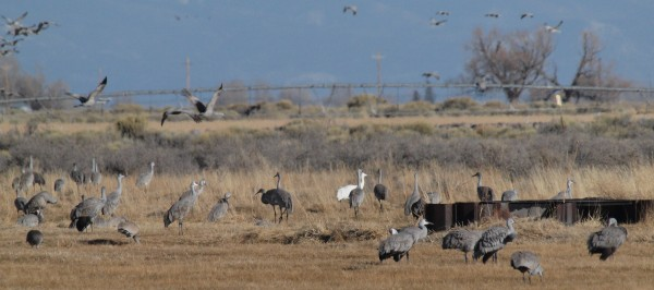 Albino Sandhill Crane, San Luis Valley, CO