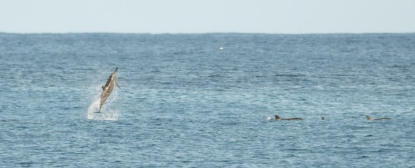 just for fun - a spinner dolphin. Click to make it larger and you can ...