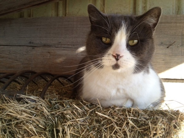 My barn cat Pounce de Lion