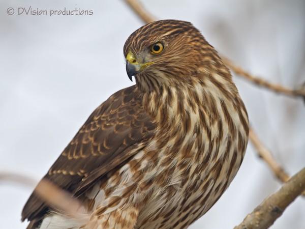 Male Cooper's Hawk me thinks