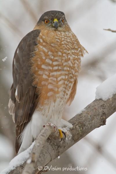 Sharp-Shin Hawk in a snowstorm