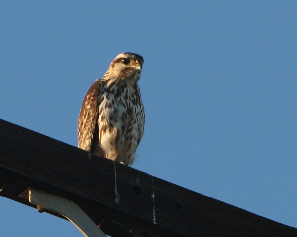 Gray Hawk in Santa Barbara, CA.