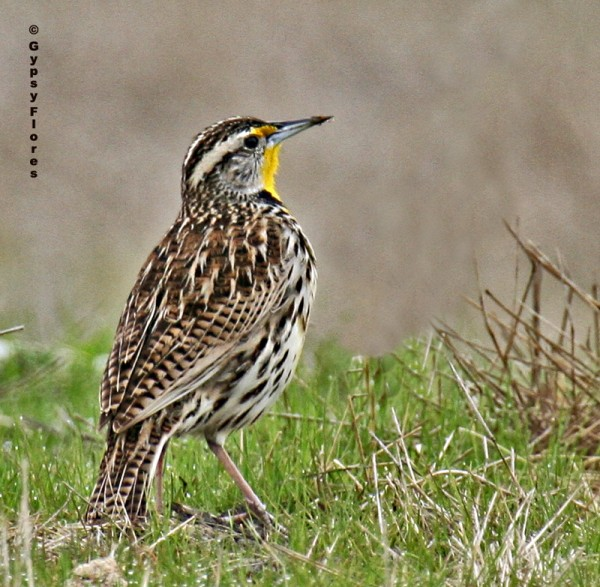 Western Meadowlark--I took this photo in 2007