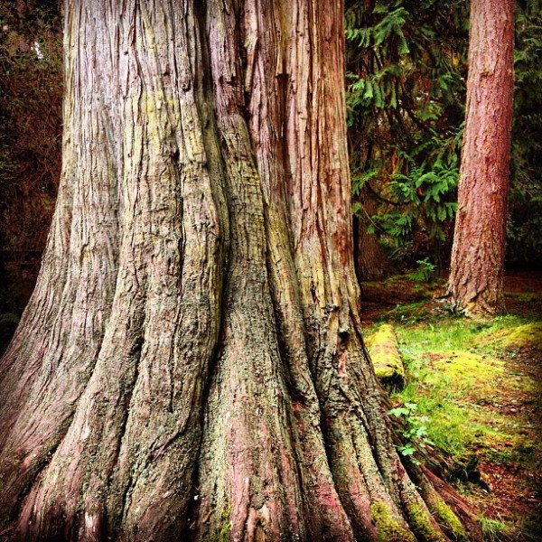 Cedar tree this morning on Whidbey Island, WA
