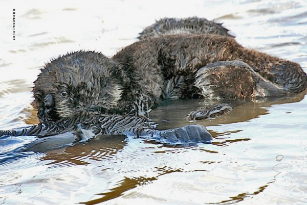 Baby otter at Moss Landing harbor