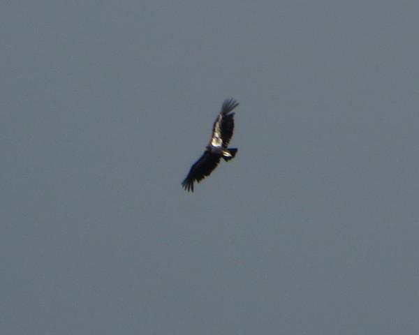 Wild California Condor.