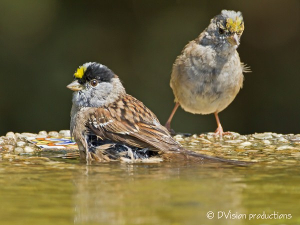 A pair of Golden-Crowned Sparrows, likely on their way north