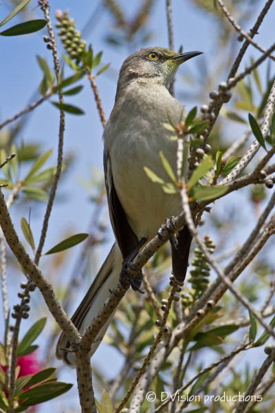 A Mockingbird out of song momentarily