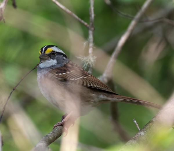 Don't see these so often- White-throated Sparrow