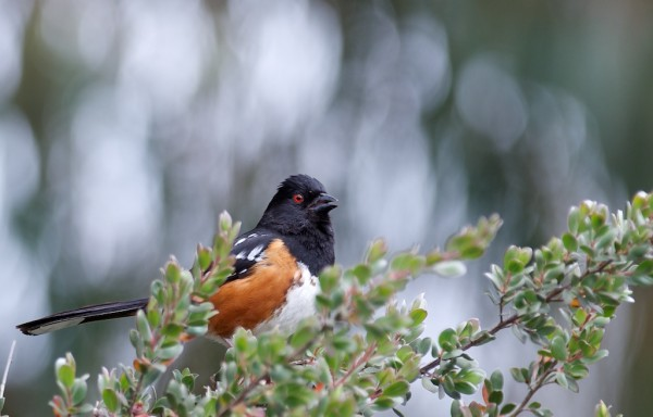 These Spotted Towhees are singing up a storm these days
