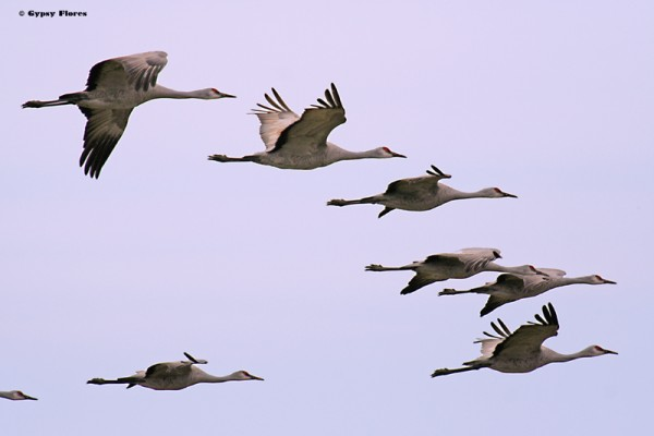 Took this in 2007.  Sandhill Cranes at the Merced Wildlife Refuge near...
