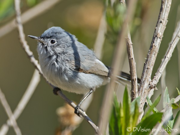 "Blue-Grey Gnatcatcher.  ""squeak squeak""..."